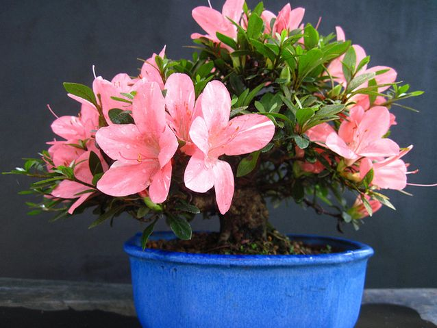 azalea-plant-pot.jpg.638x0_q80_crop-smart