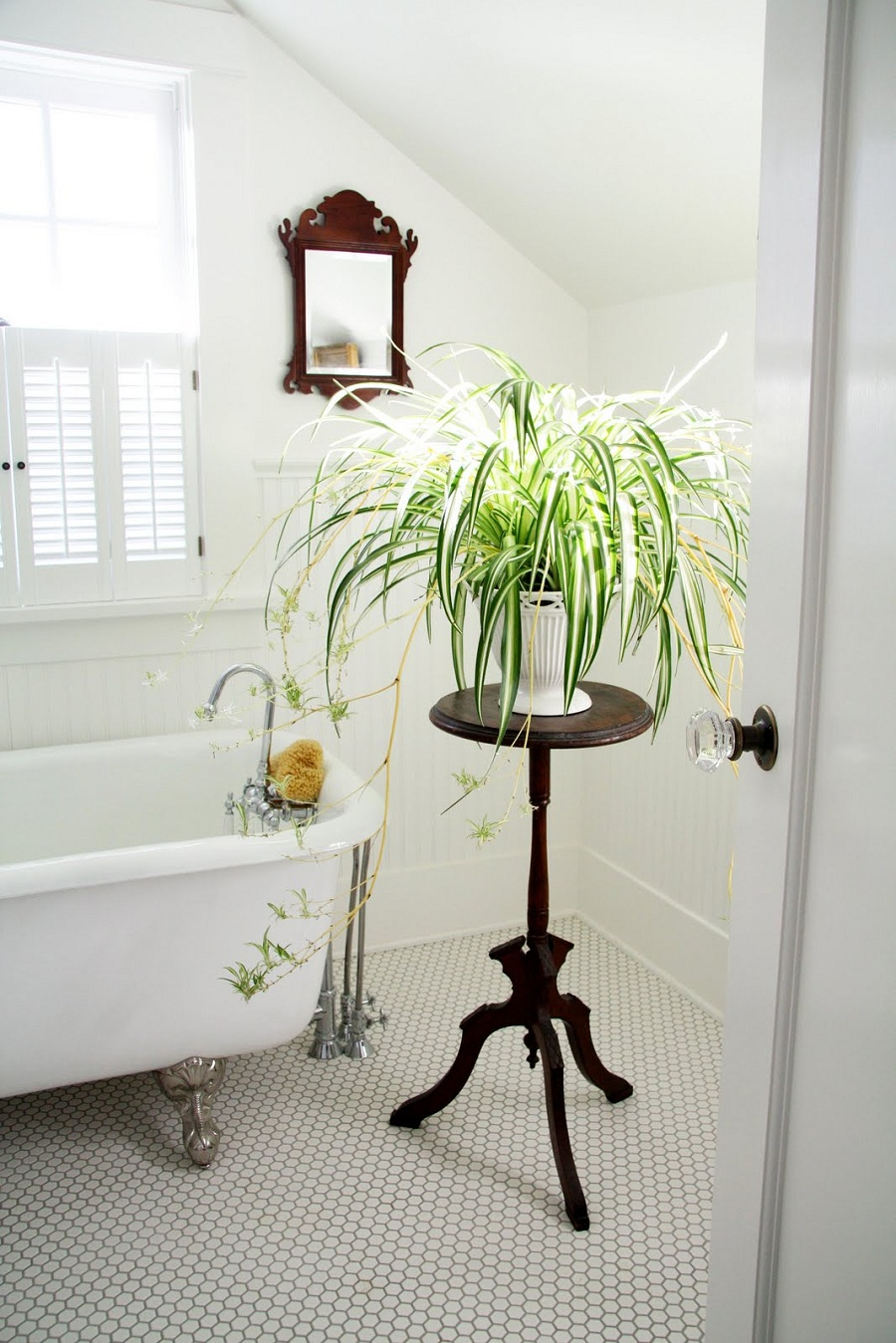 spider-plant-for-bathroom