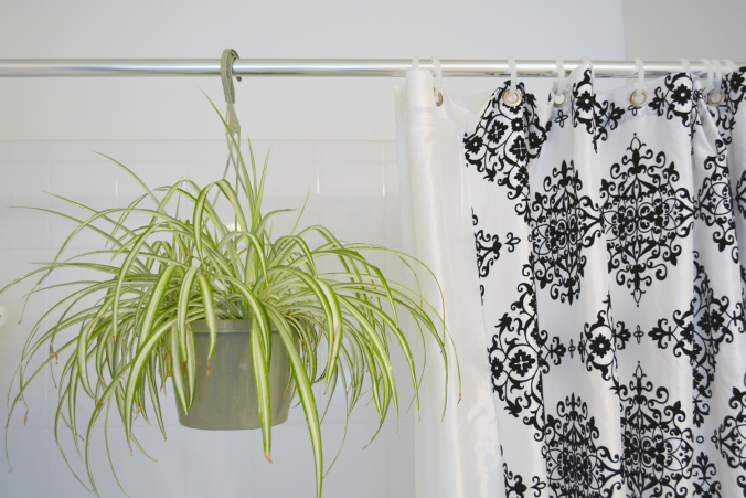 spider-plant-in-bathroom-shower_web