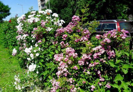 Стотици нови рози по булевардите в Пловдив