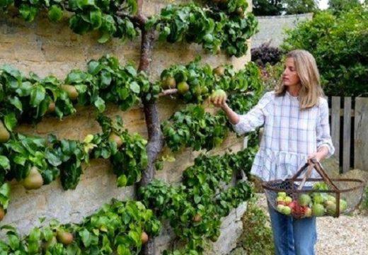 Как да отглеждаме овощни дръвчета на тесни места