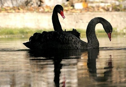 Строителна фирма купува черни лебеди за зоопарка във Варна