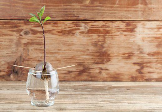 Как да отгледаме авокадо от костилка