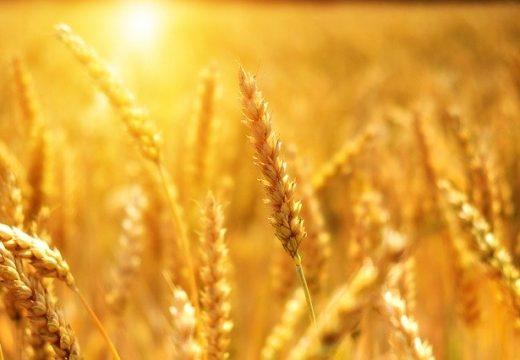 Добивите на пшеница в Добруджа ще са с 40% по-ниски