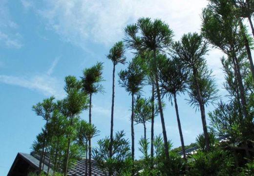 Дайсуги – японското изкуство за създаване на дървен материал без изсичане на дървета