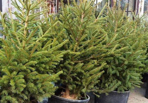 Столичната община събира елхите разделно